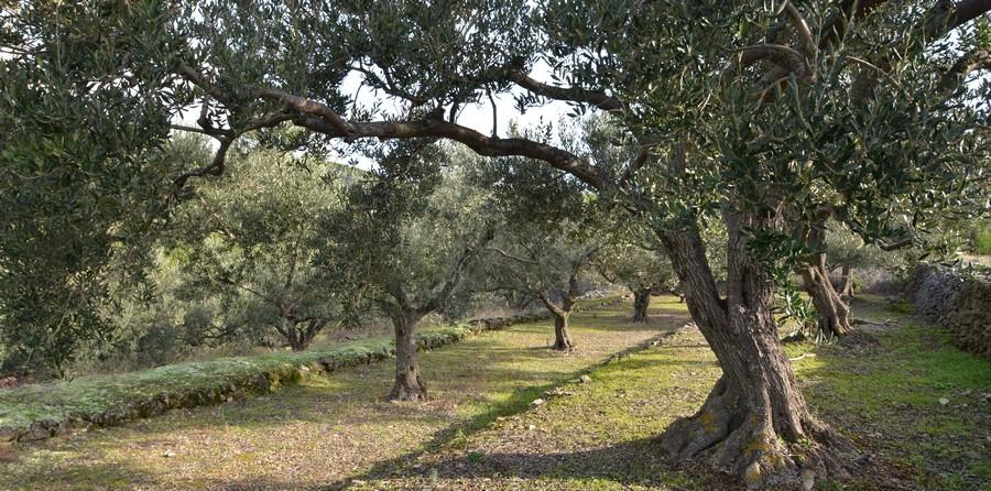 Olive Harvesting Prizba 02