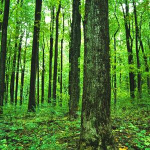 Uskoro Zabrana Izvoza šumske Građe